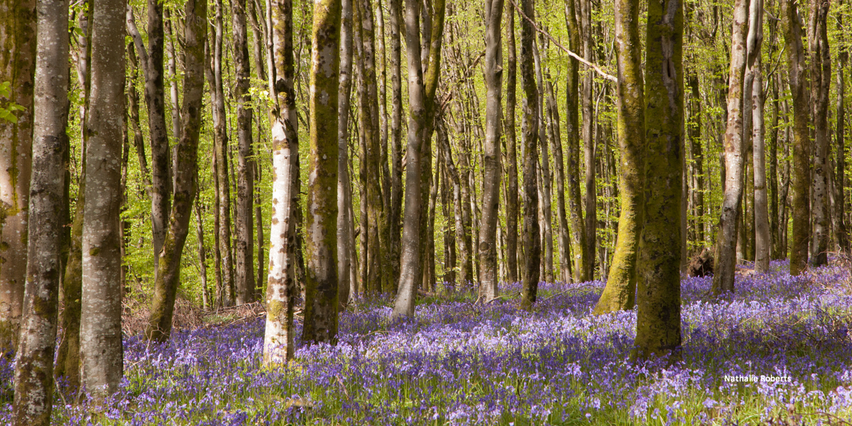 Bluebells - Hooke Woods by Nathalie Roberts