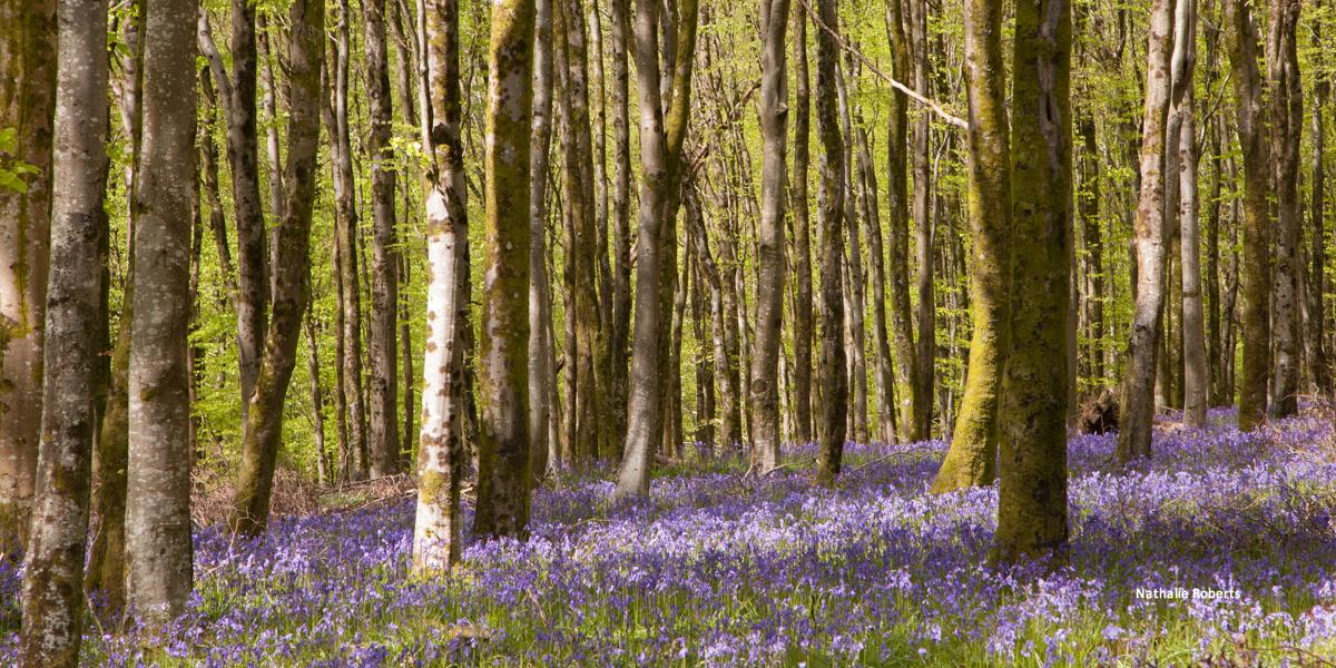 Bluebells - Hooke Woods by Nathalie Roberts