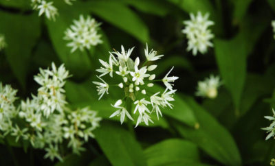 Foraging and Using Wild Garlic in Dorset